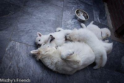 Zwitserse witte herder Heaven aan het spelen met de pups