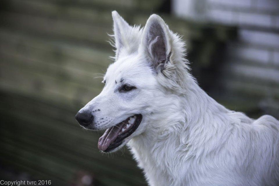Zwitserse witte herder Nikita 17 maart 2017