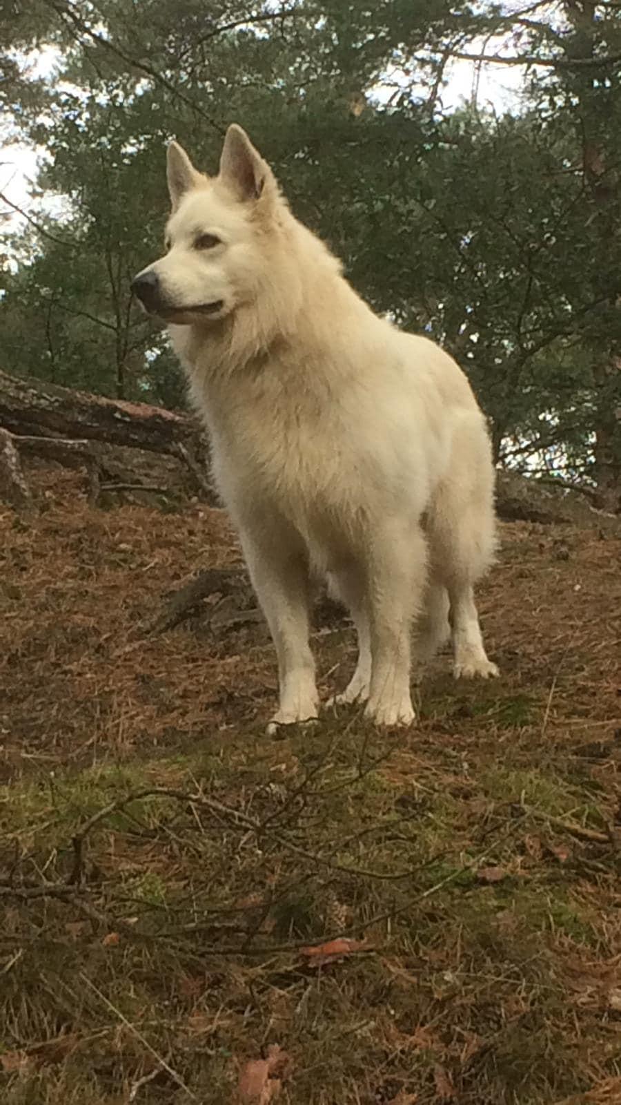 Zwitserse witte herder reu Nio 17 oktober 2020