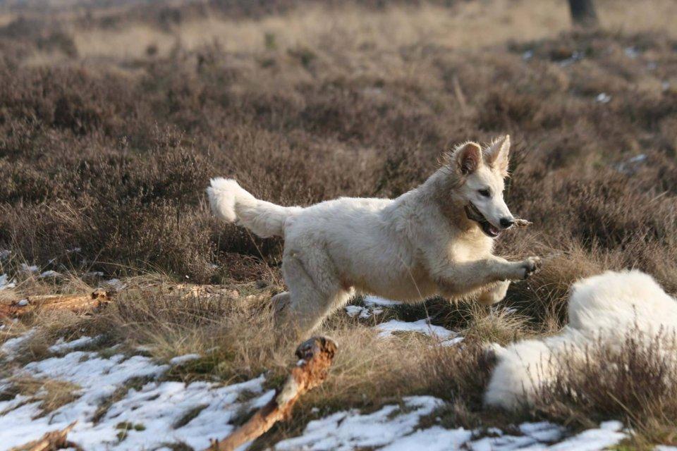 Zwitserse witte herder Misthy's Friends Nioio