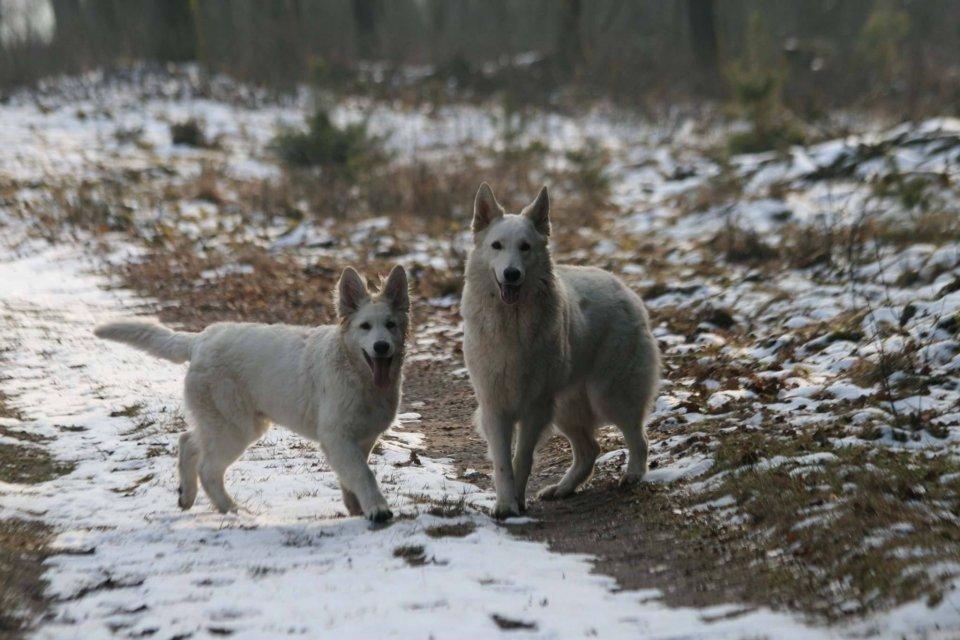 Zwitserse witte herder reu Nio