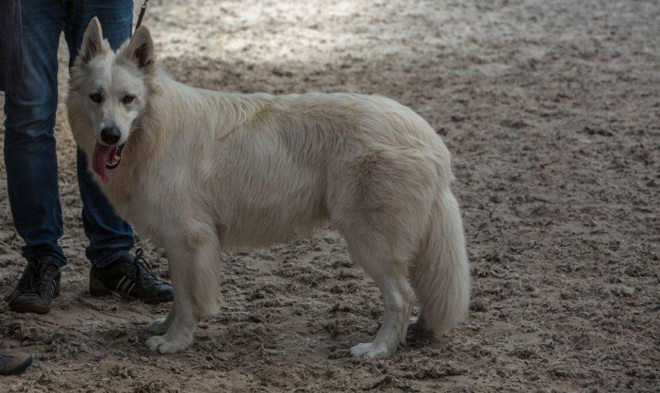 Zwitserse witte herder reu Nio Strand