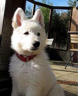 Misthy's Friend Indi pup