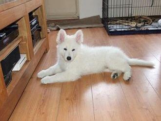 Misthy's Friend Mylo pup