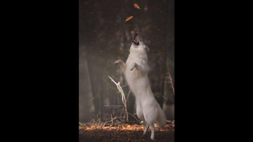 Zwitserse witte herder Jasmijn wauw