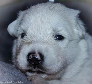 28 mei 2014 Misthy's Friends pup Reu blauw nu paars