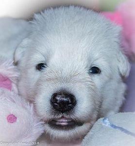28 mei 2014 Misthy's Friends pup Teef Blauw nu Rose