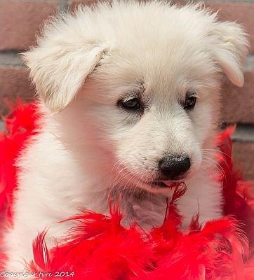 26-06-2020 Misthy's Friends K-nest pup Teef Roze