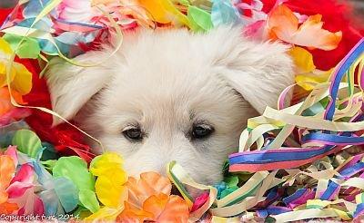 26-06-2020 Misthy's Friends K-nest pup Teef Blauw