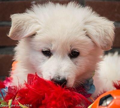 26-06-2020 Misthy's Friends K-nest pup Reu Blauw
