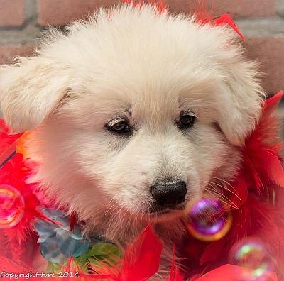 26-06-2020 Misthy's Friends K-nest pup Teef Groen