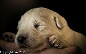 26 mei 2015 Misthy's Friends L nest pup Reu geen bandje