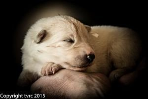 26 mei 2015 Misthy's Friends L nest pup Teef Wit