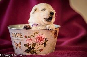 4 juni 2015 Misthy's Friend L nest pup Teef paars