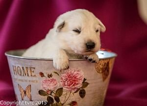 4 juni 2015 Misthy's Friend L nest pup Teef Rood