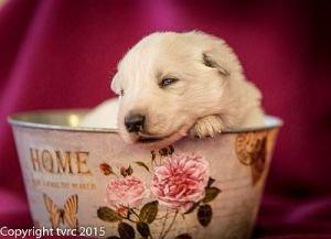 4 juni 2015 Misthy's Friend L nest pup Reu geen bandje