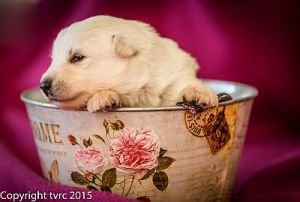 4 juni 2015 Misthy's Friend L nest pup Teef geen bandje