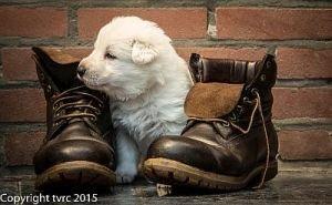 11 juni 2015 Misthy's Friends L nest pup Teef Zilver