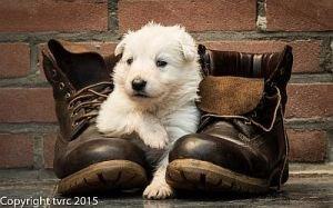 11 juni 2015 Misthy's Friends L nest pup Teef geen bandje