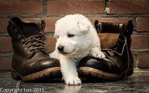 11 juni 2015 Misthy's Friends L nest pup Reu Goud