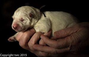 Misthy Friends L nest 24 mei 2015 pup Teef Zilver
