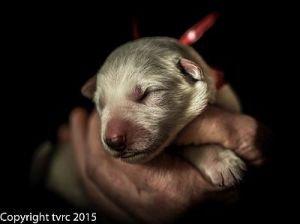 Misthy Friends L nest 24 mei 2015 pup Teef Rood