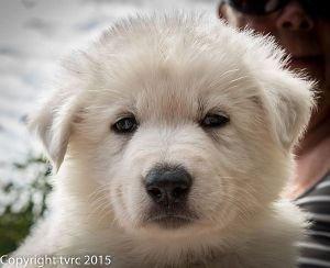 18 juni 2015 Misthy's Friends L nest pup Reu Bruin
