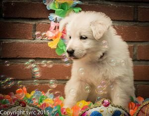 18 juni 2015 Misthy's Friends L nest pup Teef Rood Lola