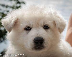 18 juni 2015 Misthy's Friends L nest pup Teef Rood Lotus Lola