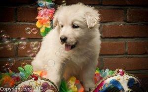 18 juni 2015 Misthy's Friends L nest pup teef Blauw