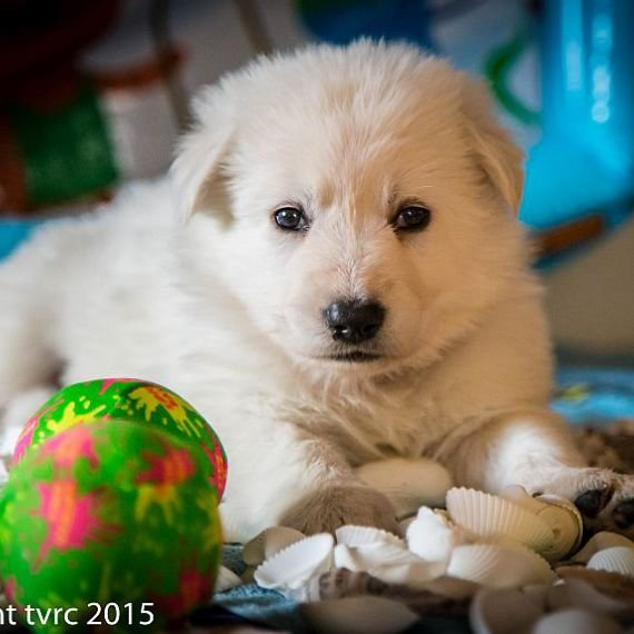 18 juni 2015 Misthy's Friends L nest pup Teef Roze