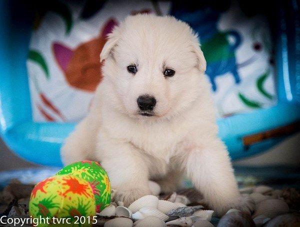 18 juni 2015 Misthy's Friends L nest pup reu Blauw