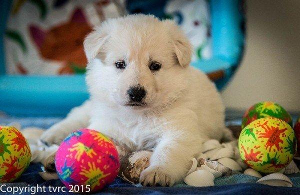 18 juni 2015 Misthy's Friends L nest pup Teef Rood