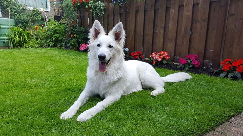 Zwitserse witte herder Mayka juni 2016