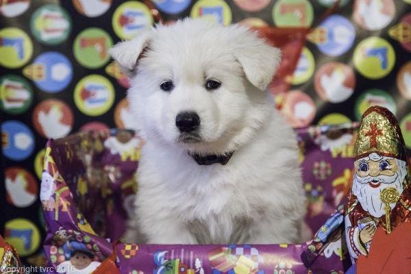 Zwitserse witte herder pup op 15 november 2016 teef bruin