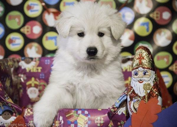 Zwitserse witte herder pup op 15 november 2016 Reu Blauw