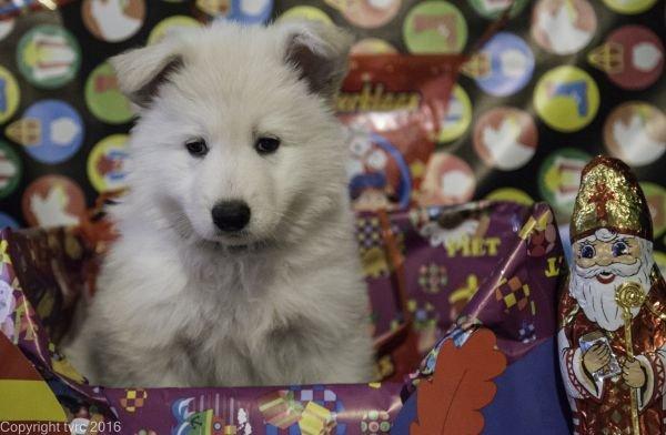 Zwitserse witte herder pup op 15 november 2016 teef zwart