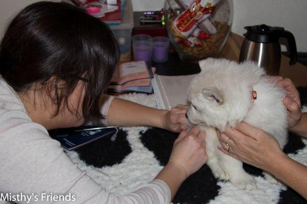 Zwitserse witte herder kennel krijgt bezoek van Dierenarts Pup Teef Oranje Nila