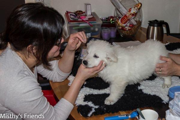 Zwitserse witte herder kennel krijgt bezoek van Dierenarts Pup Teef Groen, Nanouk