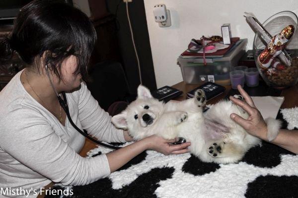 Zwitserse witte herder kennel krijgt bezoek van Dierenarts Pup teef groen Nanoul
