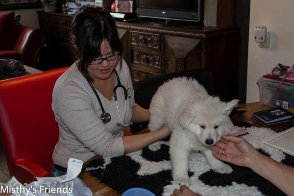 Zwitserse witte herder kennel krijgt bezoek van Dierenarts Pup Reu blauw Nio