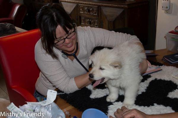 Zwitserse witte herder kennel krijgt bezoek van Dierenarts Pup Reu Blauw Nio``