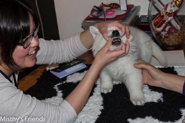 Zwitserse witte herder kennel krijgt bezoek van Dierenarts Pup reu wit/geel Tara