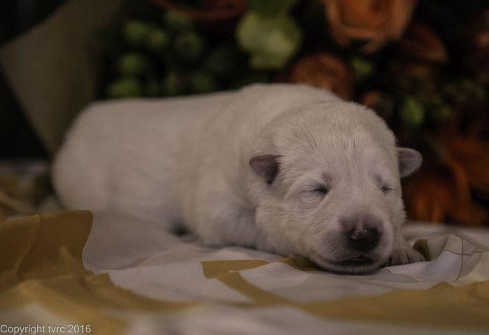 Zwitserse witte herder pup op 12 oktober 2016 Teef Paars