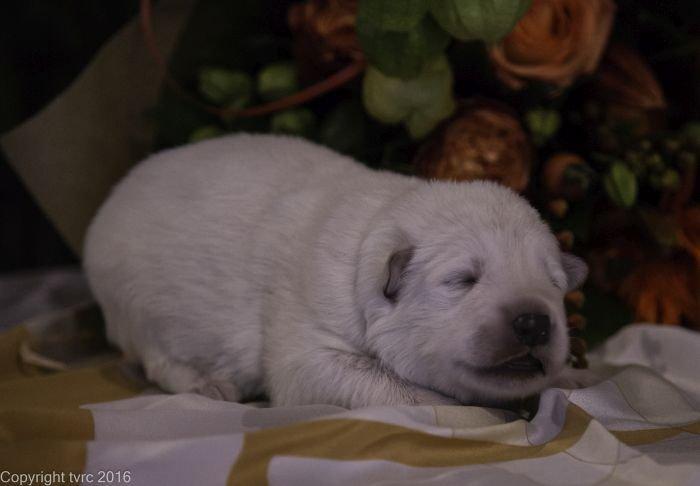 Zwitserse witte herder pup op 12 oktober 2016 Teef Zwart