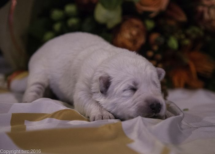 Zwitserse witte herder pup op 12 oktober 2016 Teef Bruin