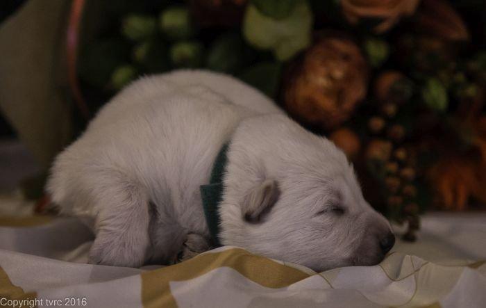 Zwitserse witte herder pup op 12 oktober 2016 Teef Groen
