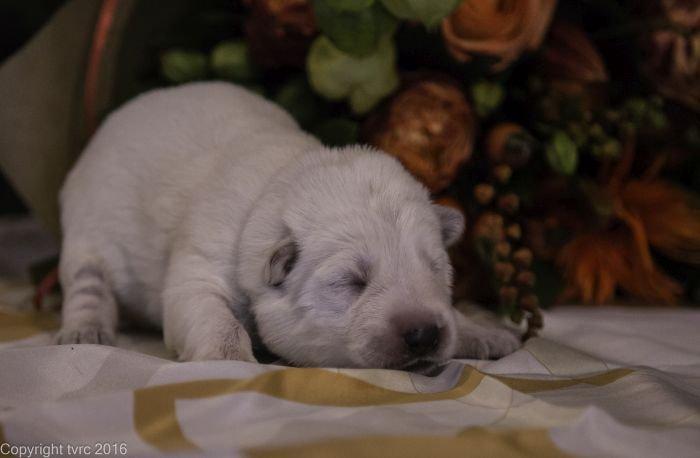 Zwitserse witte herder pup op 12 oktober 2016 Reu Blauw