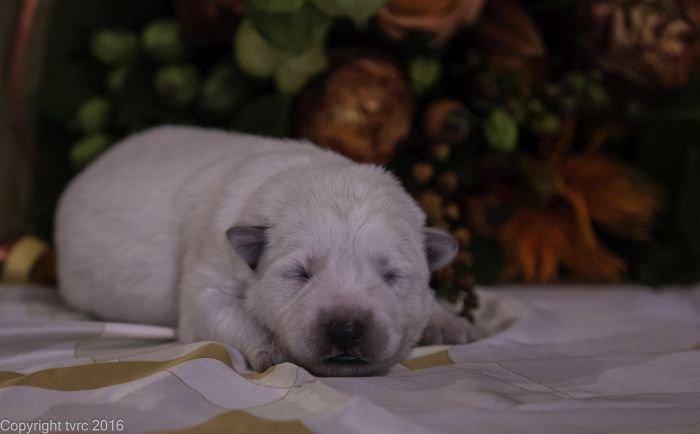 Zwitserse witte herder pup op 12 oktober 2016 Reu oranje