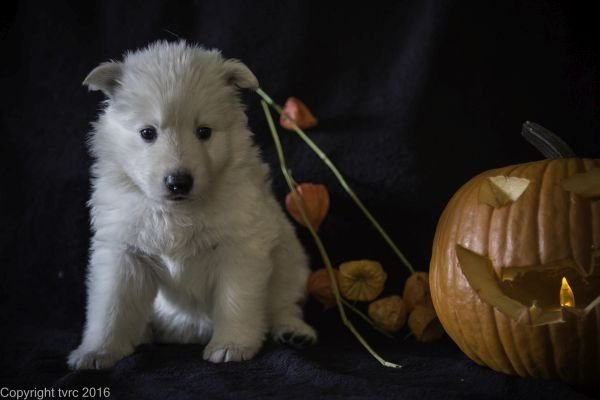 Zwitserse witte herder pup op 2 november 2016 Teef Paars